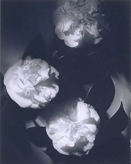 An image of Camelias by Max Dupain